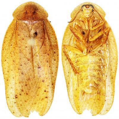 Eek! 3 New Giant Cockroach Species Found