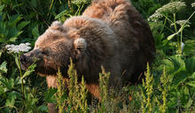 鮭魚與莓果不可兼得 阿拉斯加棕熊因暖化改「吃素」
