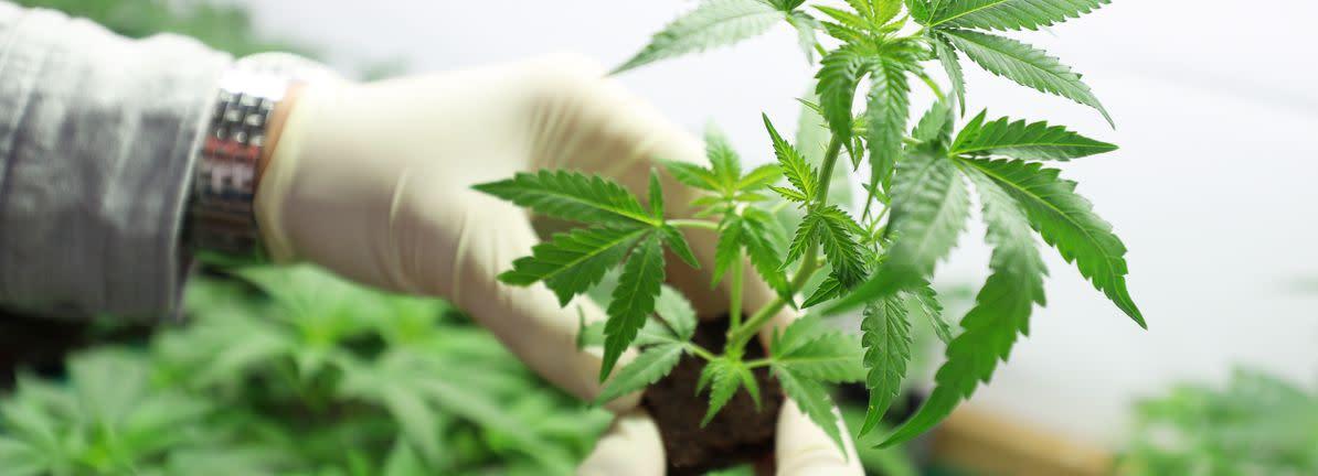 Aurora cannabis forum