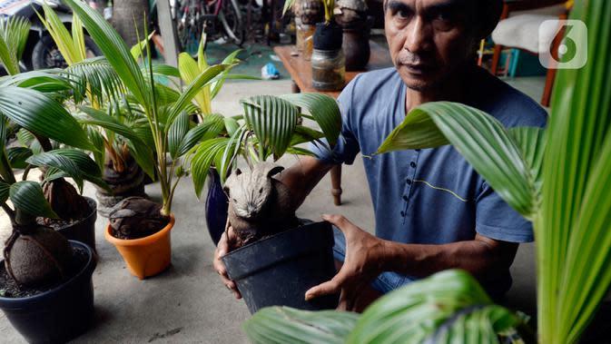 Seniman, Herman Ronda (49) menyelesaikan bibit pohon kelapa untuk dijadikan bonsai di Pondok Benda Pamulang, Tangerang Selatan, Selasa (13/10/2020). Budidaya bonsai tanaman kelapa semakin digemari untuk memanfaatkan waktu dengan harga dari Rp 250 ribu hingga Rp 500 ribu. (merdeka.com/Dwi Narwoko)