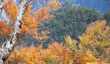 2020台灣山毛櫸漸變色 黃金林將現蹤