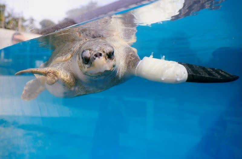 Thailand membantu penyu berenang lagi dengan sirip buatan