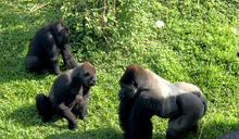 動物園金剛猩猩家族年底迎新成員(2) (圖)