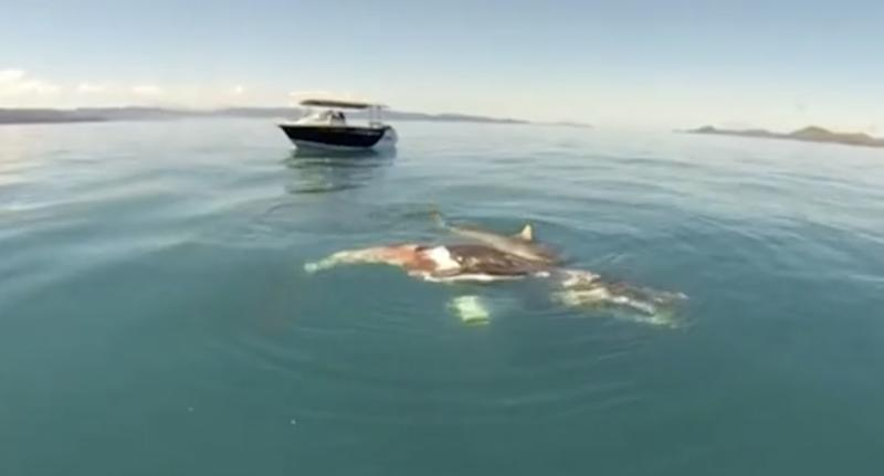 Footage (pictured) shows the shark feeding on a whale carcass