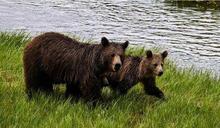 2頭棕熊闖跑道!阿拉斯加航空客機降落 慘撞死母熊機身毀損