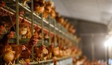 德法日韓爆高致病性禽流感 港停部分地區禽類產品進口