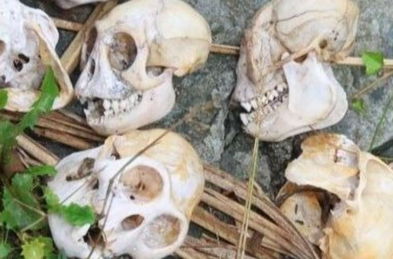 Monkey skulls were seized from houses in South Devon in a series of raids (Devon and Cornwall Police)