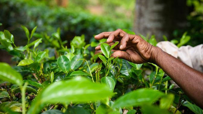 Ilustrasi kebun teh (sumber: iStockphoto)