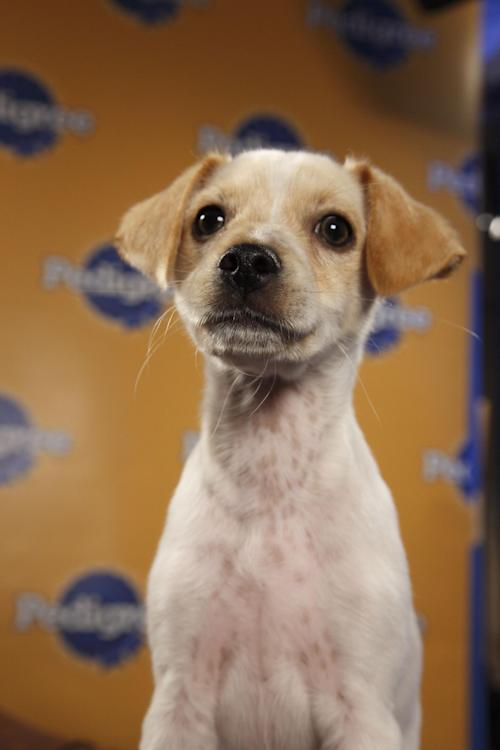 "This undated publicity photo provided by Animal Planet shows a dog, Fumble, during ""Puppy Bowl VIII,"" in New York. The ""Puppy Bowl,"" an annual two-hour TV special that mimics a football game with canine players, made its debut eight years ago on The Animal Planet. Fumble, the spcaLA's entry in ""Puppy Bowl VIII,"" earned the game's Most Valuable Pup crown. (AP Photo/Animal Planet, Kimberly Holcombe)"