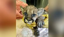 小美洲獅野火遭救!4周大獅寶「爪子燒傷、淚眼汪汪」惹心疼