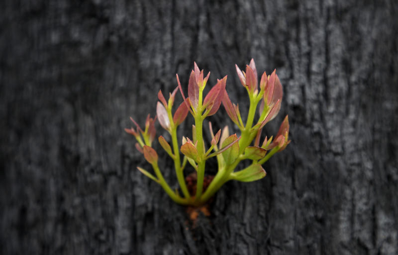 Leaves begin to sprout from the trunk of a blackened and burned tree near Nattai, Australia, Thursday, Jan. 16, 2020. The fires have claimed dozens of lives since September, destroyed thousands of homes and razed more than 10.3 million hectares (25.5 million acres), but the fire danger has been diminished by rain this week in several areas. The first green buds of regrowth have already emerged in some blacked forests following the rain. (AP Photo/Rick Rycroft)