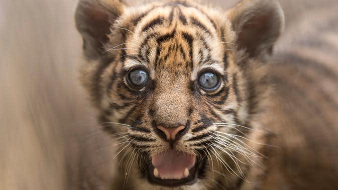 Dalam foto selebaran tanpa tanggal memperlihatkan seekor anak Harimu Sumatera di Kebun Binatang Wroclaw, Polandia. Kelahiran anak Harimau Sumatera berjenis kelamin betina pada 23 Mei ini merupakan yang pertama dalam 20 tahun. (Wroclaw Zoo via AP)