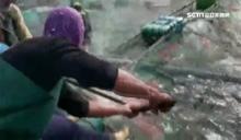 澎湖公牛鯊獵殺海鱺 漁民損失慘重