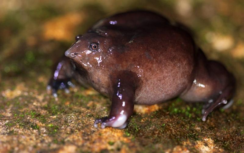 India's Western Ghats is home to hundreds of endangered species, including the purple frog - ZSL