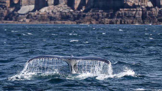 Seekor paus bungkuk terlihat di Teluk Jervis, Sydney selatan, Australia, pada 23 September 2020. (Xinhua/Bai Xuefei)
