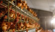 澳洲維多利亞省爆H7N6禽流感 港停進口禽類產品