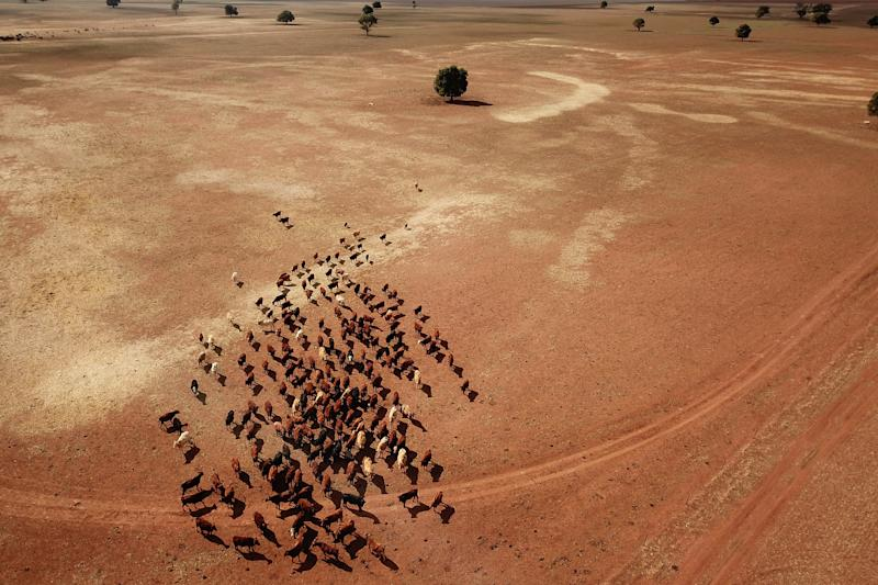 Cattle at crop and livestock farmer Wayne Dunford's Lynton Station west of Parkes, during the drought.