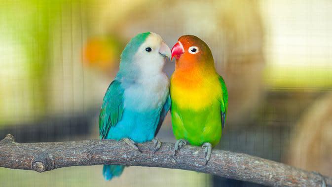 Lovebird (Sumber: Istockphoto)