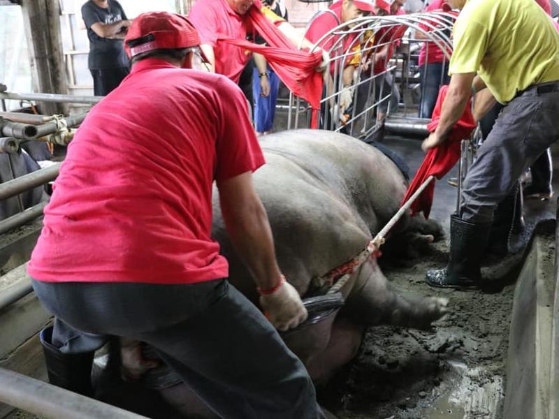 過磅得五花大綁 大豬嚇到撞鐵籠掛彩