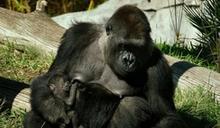 美聖地牙哥動物園2大猩猩確診 1隻出現症狀