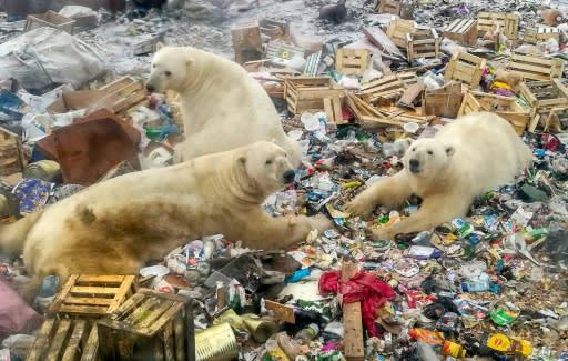 Polar bears feed at a garbage dump near the village of Belushya Guba, on the remote northern Russian archipelago of Novaya Zemlya on October 31, 2018
