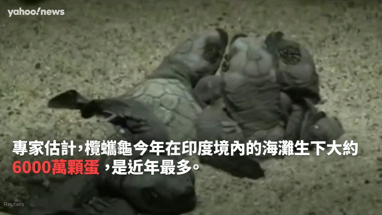 Yahoo精選暖新聞(5/4-10):感動!生態大爆發 百萬隻海龜寶寶孵化游回大海