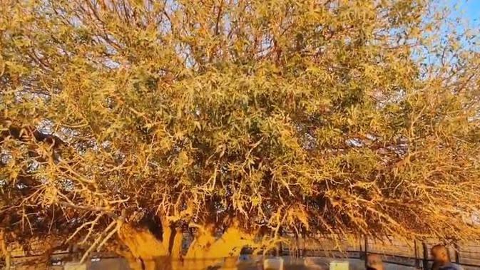 Potret pohon Sahabi,