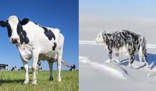 《明天過後》動物版?乳牛半路被冰封 慘成「冷凍牛」