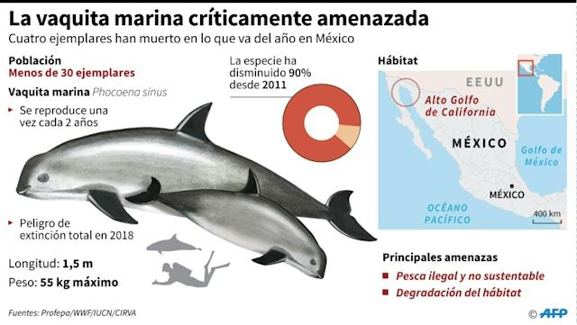 La vaquita marina críticamente amenazada