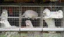 丹麥發現變異冠狀病毒株恐致疫苗失效 全面撲殺上千萬養殖水貂