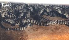 「凍」未條!鱷魚也怕冷 業者製溫水「泡湯」
