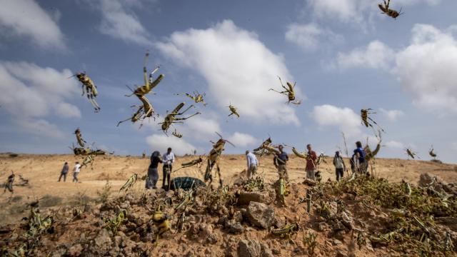 Junge Wüstenheuschrecken in Somalia: Solange ihnen keine Flügel gewachsen sind, können sie nur hüpfen. ©Ben Curtis/AP/dpa