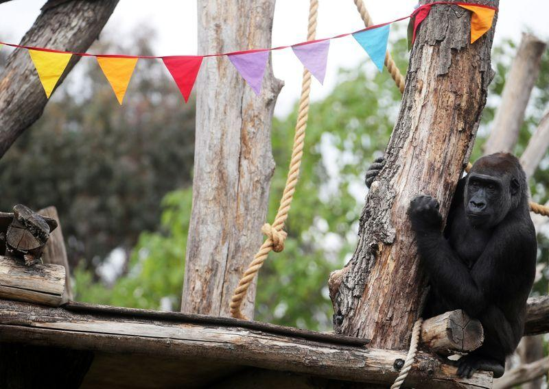 Perlu lebih banyak kontak manusia? Begitu juga gorila Kebun Binatang London