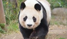 日本25歲大貓熊患心臟病 恐無法返回中國