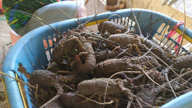 Lobster segar hasil tangkapan nelayan pantai selatan Garut, Jawa Barat, tengah melimpah saat imlek tahun ini (Liputan6.com/Jayadi Supriadin)