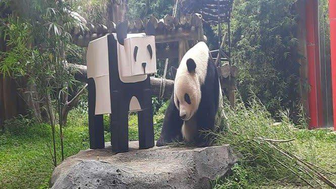 Pandemi COVID-19, Bagaimana Nasib Sepasang Panda di Indonesia?
