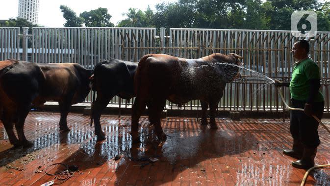 Panitia menyiapkan hewan kurban yang hendak disembelih di RPH Masjid Istiqlal, Jakarta, Sabtu (1/8/2020). Daging kurban ini nantinya akan diantarkan dari rumah ke rumah kepada penerima berdasarkan hasil survei pihak Masjid Istiqlal. (merdeka.com/Imam Buhori)