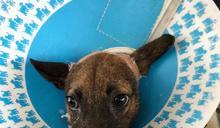 橡皮圈割喉流浪犬 嘉縣家畜所救援成功已被領養