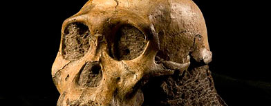This undated handout photo provided by the journal Science shows the U.W. 88-50 cranium. Two skeletons nearly 2 million years old and unearthed in South Africa are part of a previously unknown species that scientists say fits the transition from ancient apes to modern humans. (AP Photo/ Science, Brett Eloff)