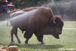 Bills fans dug through buffalo dung to win tickets to Toronto game