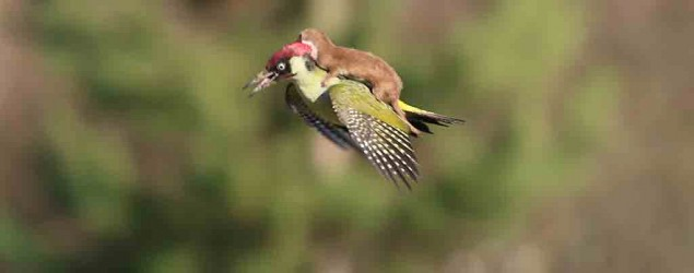 Weasel hitches a ride from woodpecker
