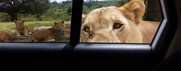 Lion opening door. Photo: Youtube/Joshua Sutherland