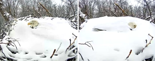 Bald eagle protects nest covered in snow (GrindTV)