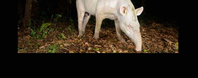 First known photo of legendary albino tapir