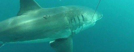 A giant great white shark is tagged in Australia (Photo courtesy of Department of Fisheries)