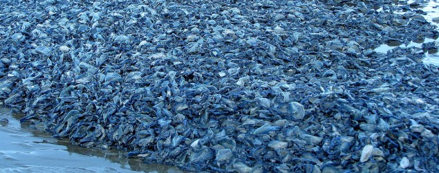 West coast hit by mysterious fish plague. (Grind/OceanShores)