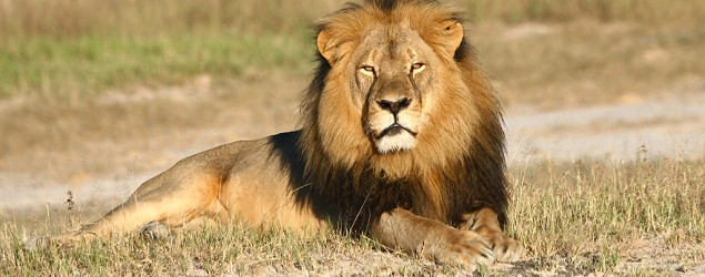 Lawyer: No charge yet for 2nd Zimbabwe lion killing suspect. (AP)