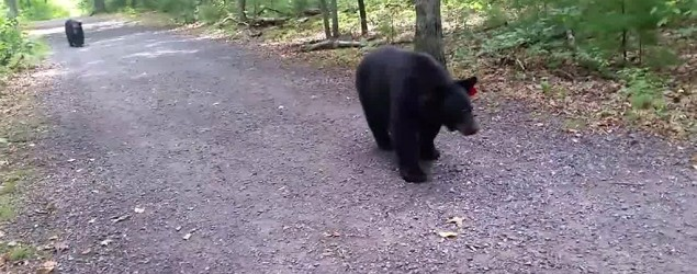 Hiker films close encounter with black bears. (ABC News)