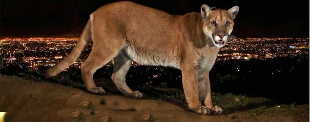 A mountain lion spotted in Griffith Park, Los Angeles (CBS This Morning).