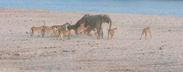 This baby elephant was surrounded by hungry lions